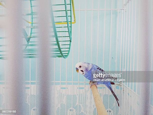 budgerigar in cage - parakeet stock photos and pictures