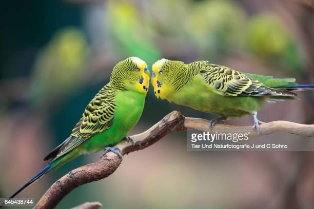 budgerigar, (melopsittacus undulatus) - accouplement animal photos et images de collection