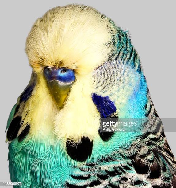 budgerigar with yellow and blue feathers - animal markings stock pictures, royalty-free photos & images