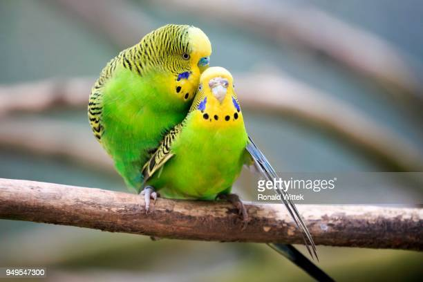 parrots mating stock photos and pictures getty images