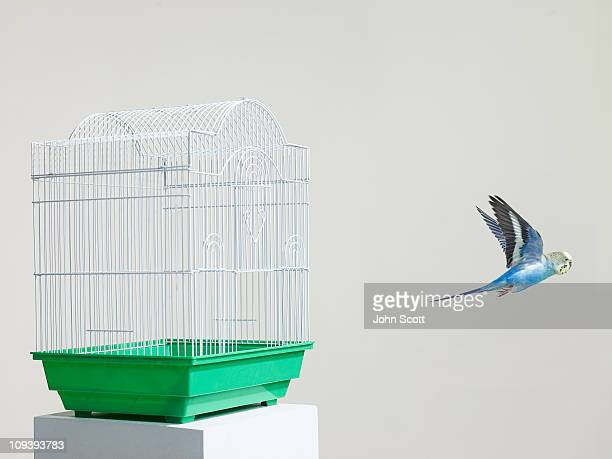 Budgie escaping from a cage