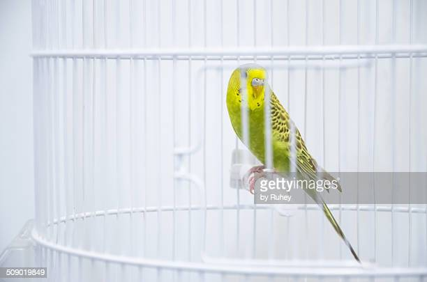 Budgie in a cage
