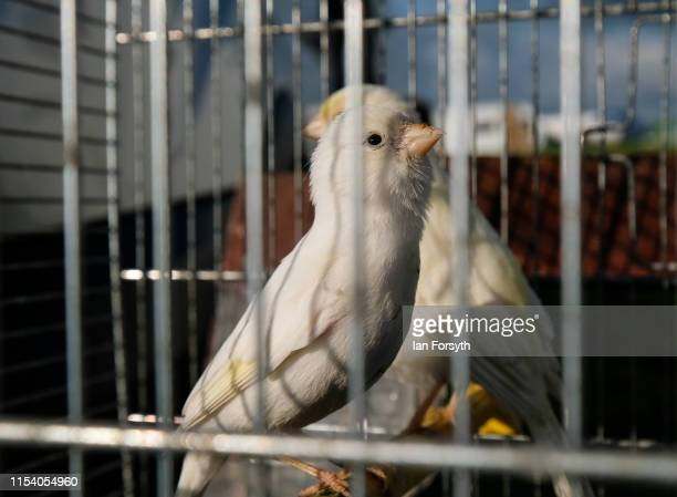 Budgies are sold from cages at a stall on the first day of the Appleby Horse Fair on June 06 2019 in Appleby England The fair is an annual gathering...