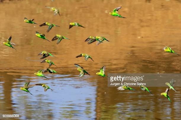 Budgies(Melopsittacus undulatus), flock of birds flying over water, Sturt National Park, New South Wales