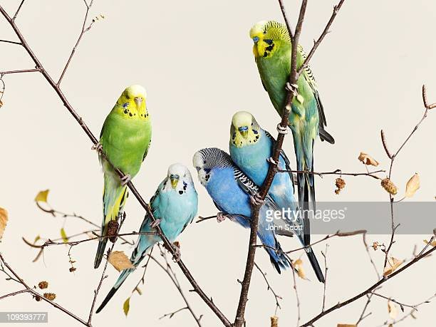 Budgies grouped on a branch