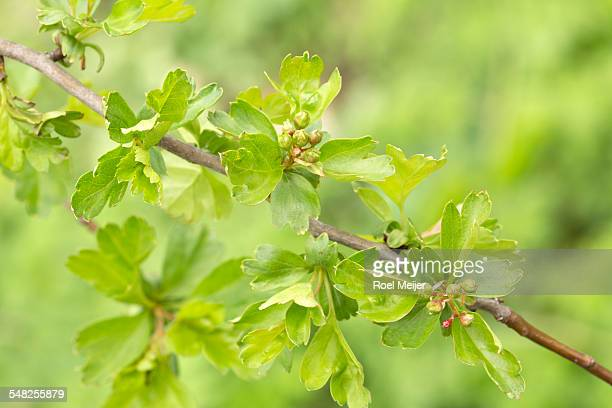 buds of hawthorn - may flowers stock pictures, royalty-free photos & images