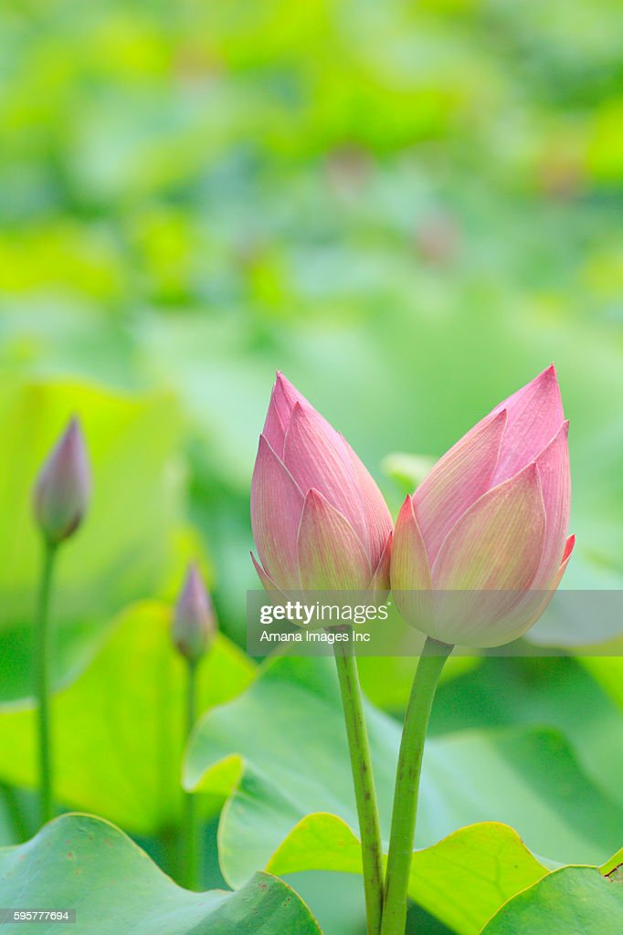 Buds of lotus flowers close up differential focus stock photo buds of lotus flowers close up differential focus stock photo mightylinksfo