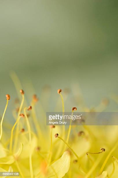 Buds with extended stamen