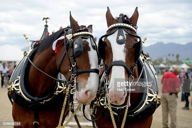 Budweiser Clydesdale horses are seen during 2016 Stagecoach California's Country Music Festival at Empire Polo Club on April 30 2016 in Indio...