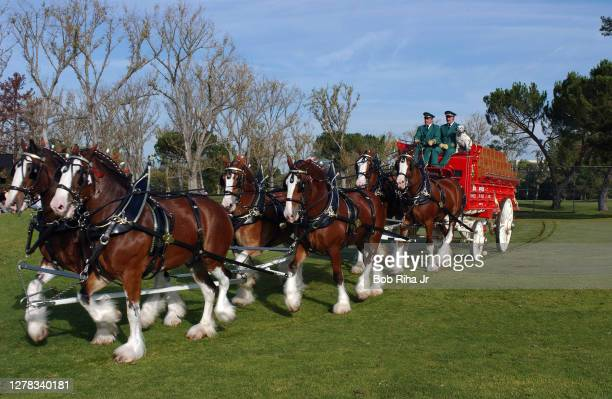 Budweiser Clydesdale horses position themselves during filming for a Super Bowl Budweiser commercial, November 11, 2004 in Los Angeles, California.