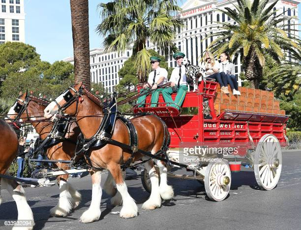 Budweiser Clydesdales trot down Las Vegas Boulevard to kick off Super Bowl festivities at Beer Park on February 5 2017 in Las Vegas Nevada