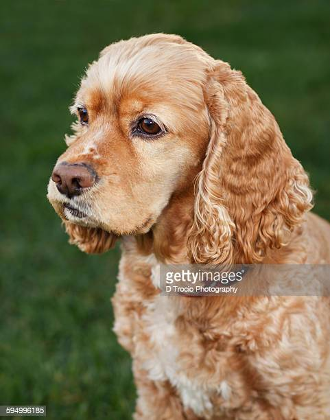 Buff colored cocker spaniel with grass background