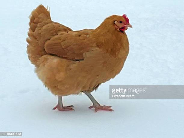 buff orpington chicken pullet free ranging in winter snow - vorbeigehen stock pictures, royalty-free photos & images