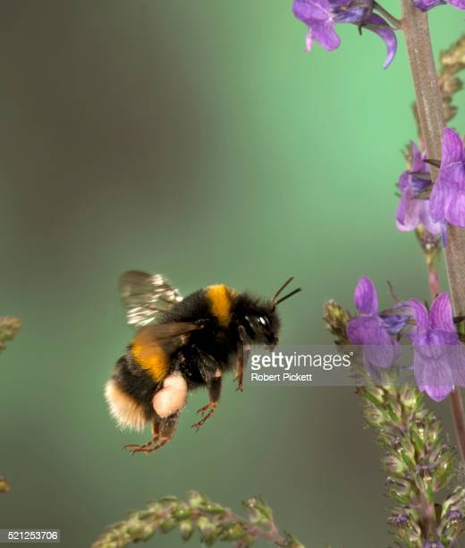 buff tailed bumble bee, bombus terrestris, in flight, free flying through flowers collecting pollen, high speed photographic technique, pollen sac's on legs - bumblebee stock pictures, royalty-free photos & images