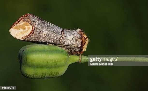 buff tip moth - hertford hertfordshire stockfoto's en -beelden