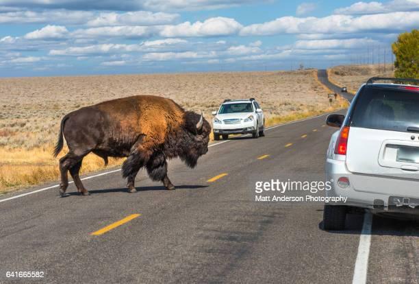 Buffalo - American Bison Yellowstone - Grand Teton National Park