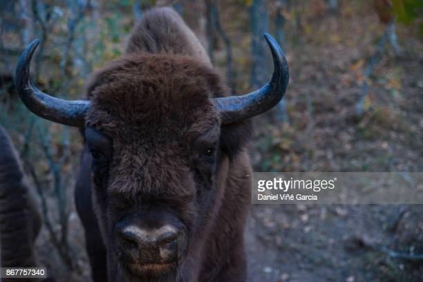 Buffalo an European Bison