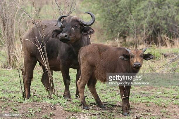 buffalo and calf (african) - 動物の親子 ストックフォトと画像