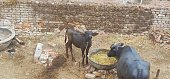 two buffalo eating village with cowdung