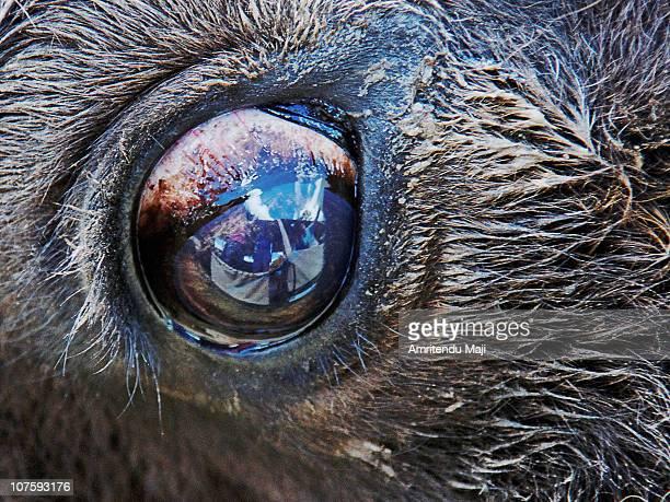Buffalo Eye Reflections