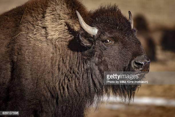 Buffalo glare