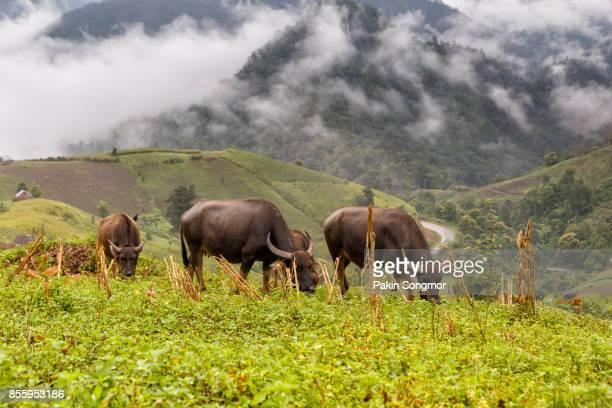 Buffalo graze on high mountain at Mae La Noi, Maehongson Province, Thailand