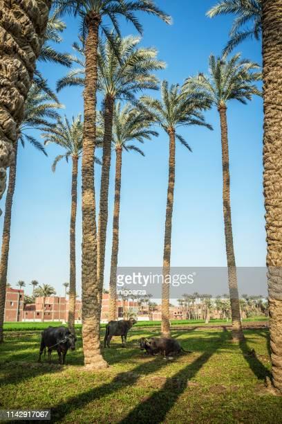 Buffalo grazing under palm trees at Dahshur near Cairo, Egypt