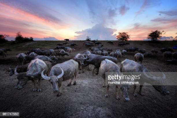 Buffalo herd and sunset background