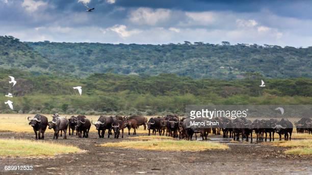 Buffalo herd at Lake Nakuru National Park