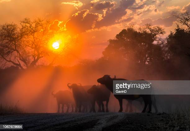 buffalo herd at sunset in kruger national park south africa - buffalo stock pictures, royalty-free photos & images