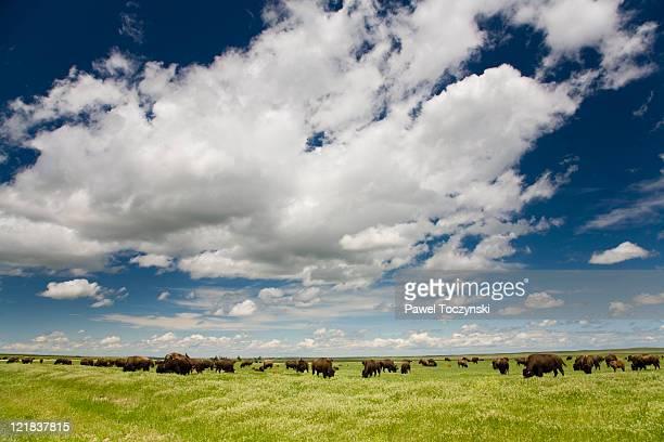 Buffalo herd on South Dakota prairie, Badlands, USA