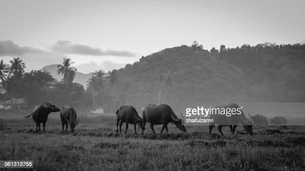 buffalo herd - shaifulzamri fotografías e imágenes de stock