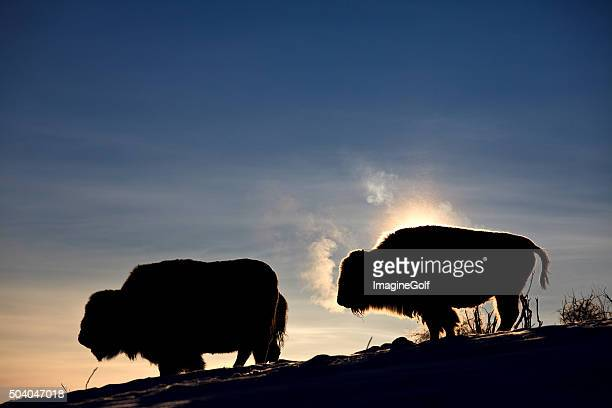 Buffalo Herd Silhouette in Winter