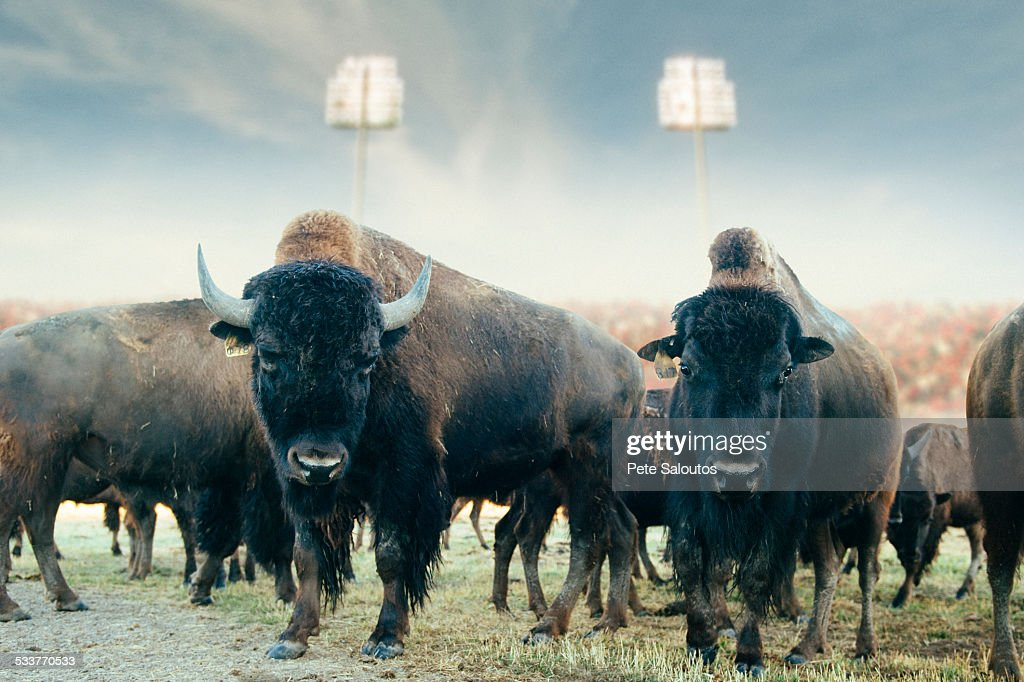 Buffalo herd standing in field at sports stadium : Foto stock