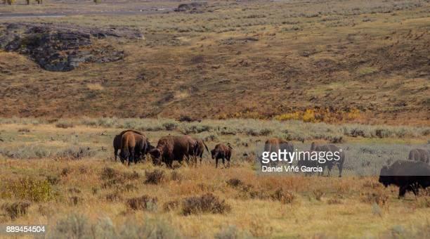 Buffalo Herd'n