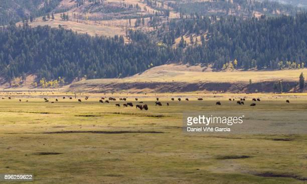 "Buffalo Herd""n"