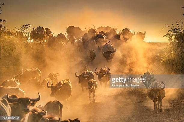 Buffalo in dust