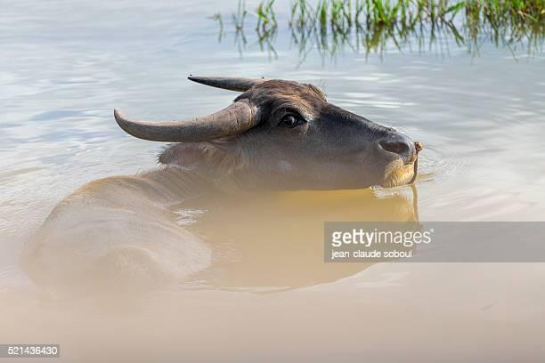 buffalo in phong nha district (vietnam) - phong nha kẻ bàng national park stock photos and pictures