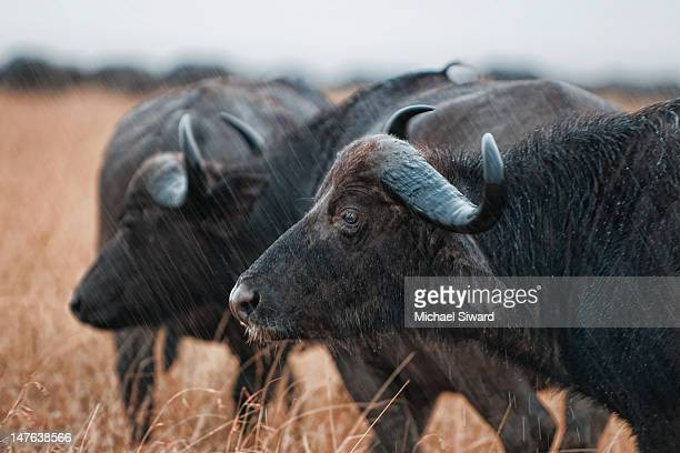 buffalo in rain - michael siward stock pictures, royalty-free photos & images