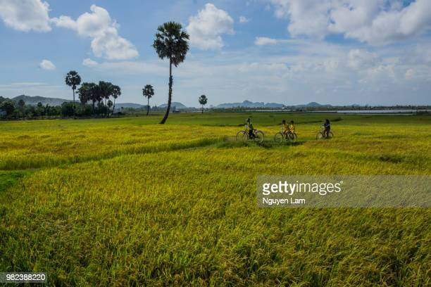 buffalo in rice fields - free of charge stock pictures, royalty-free photos & images