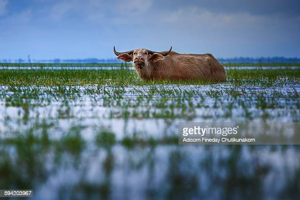 Buffalo in Talay Noi ,Phuttalung