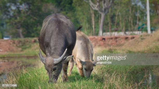 60 Top Water Buffalo Herd Pictures, Photos and Images