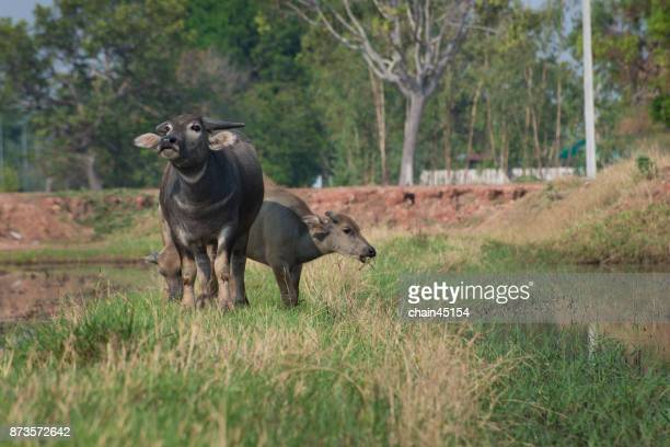 Buffalo in Thailand. Animals to work in the past. The elegance of the buffalo. Buffalo live naturally. Buffalo eat grass.