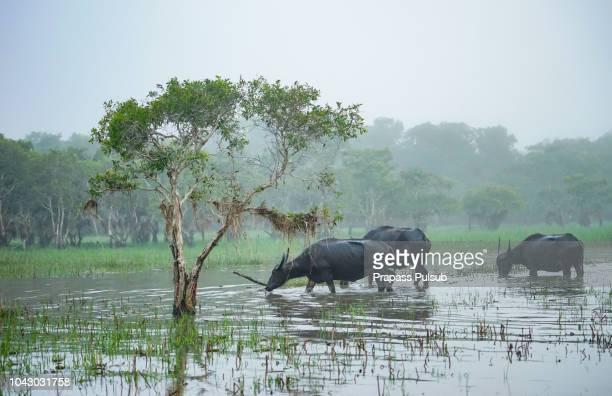 buffalo in the wild on the  river, thailand - asian ox imagens e fotografias de stock
