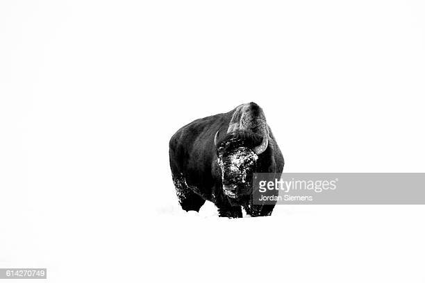 a buffalo in yellowstone. - bozeman stock pictures, royalty-free photos & images