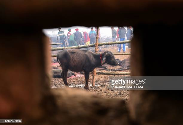 A buffalo is seen through a wall's hole as it stands in an enclosure ahead of a sacrificial offering to Hindu goddess Gadhimai during the Gadhimai...