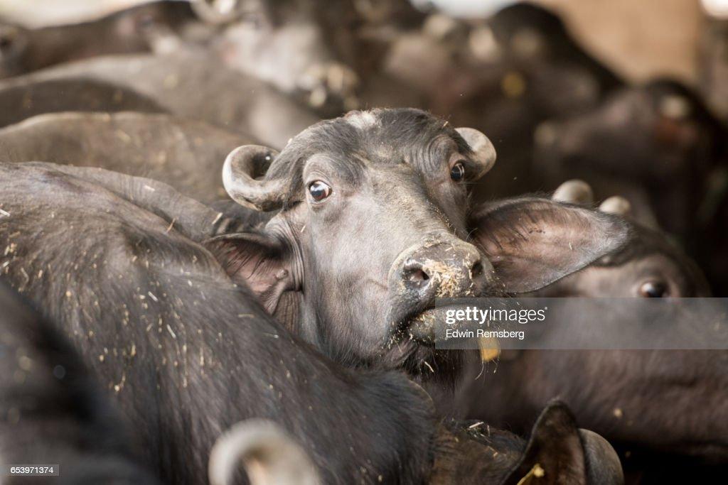 Buffalo looking at camera