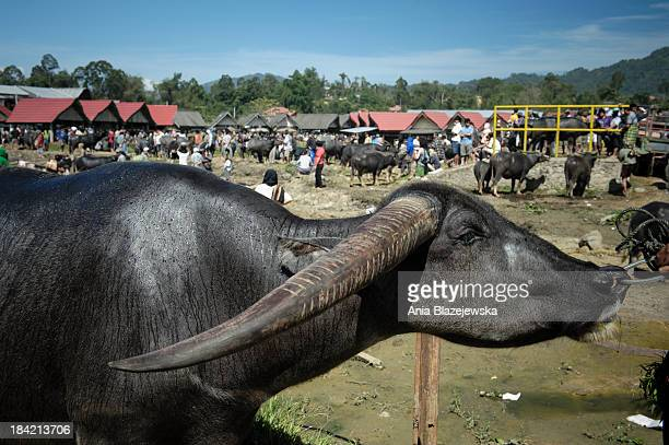CONTENT] Buffalo market in Tana Toraja Buffaloes are incredibly expensive in Tana Toraja because many of them need to be sacrificed during the...