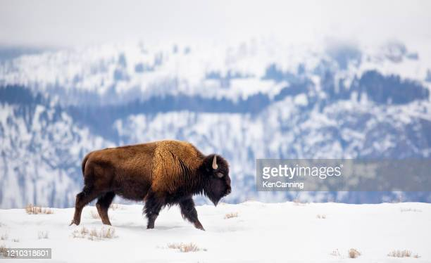 buffalo on a mountain ridge in winter - buffalo stock pictures, royalty-free photos & images