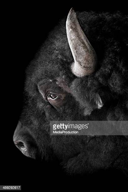 buffalo on black - wild cattle stock photos and pictures